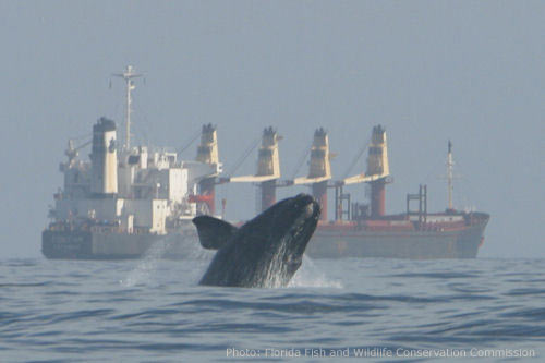Rigth whale jumping out of the water infront of a tanker