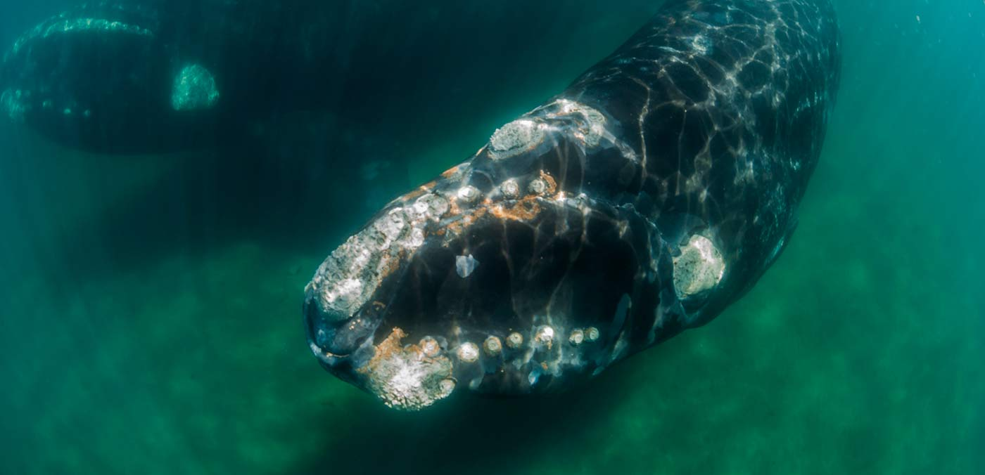 right whale southern