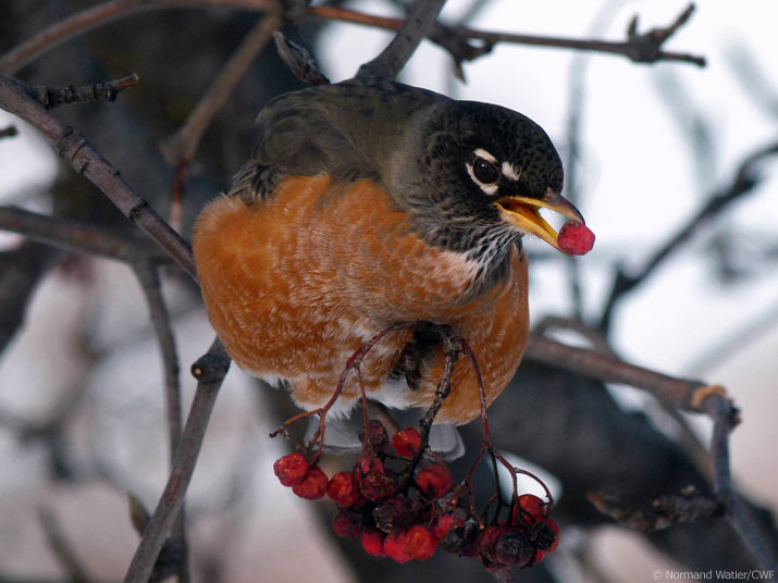 Robin eating a berry in winter Photo by Normand Watier