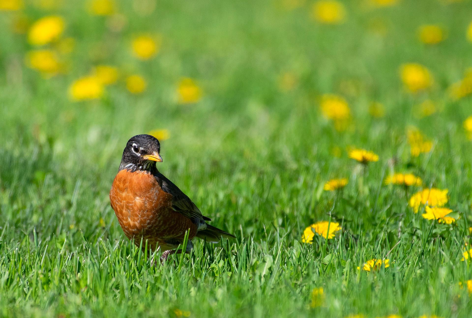 robin grass lawn dandelion