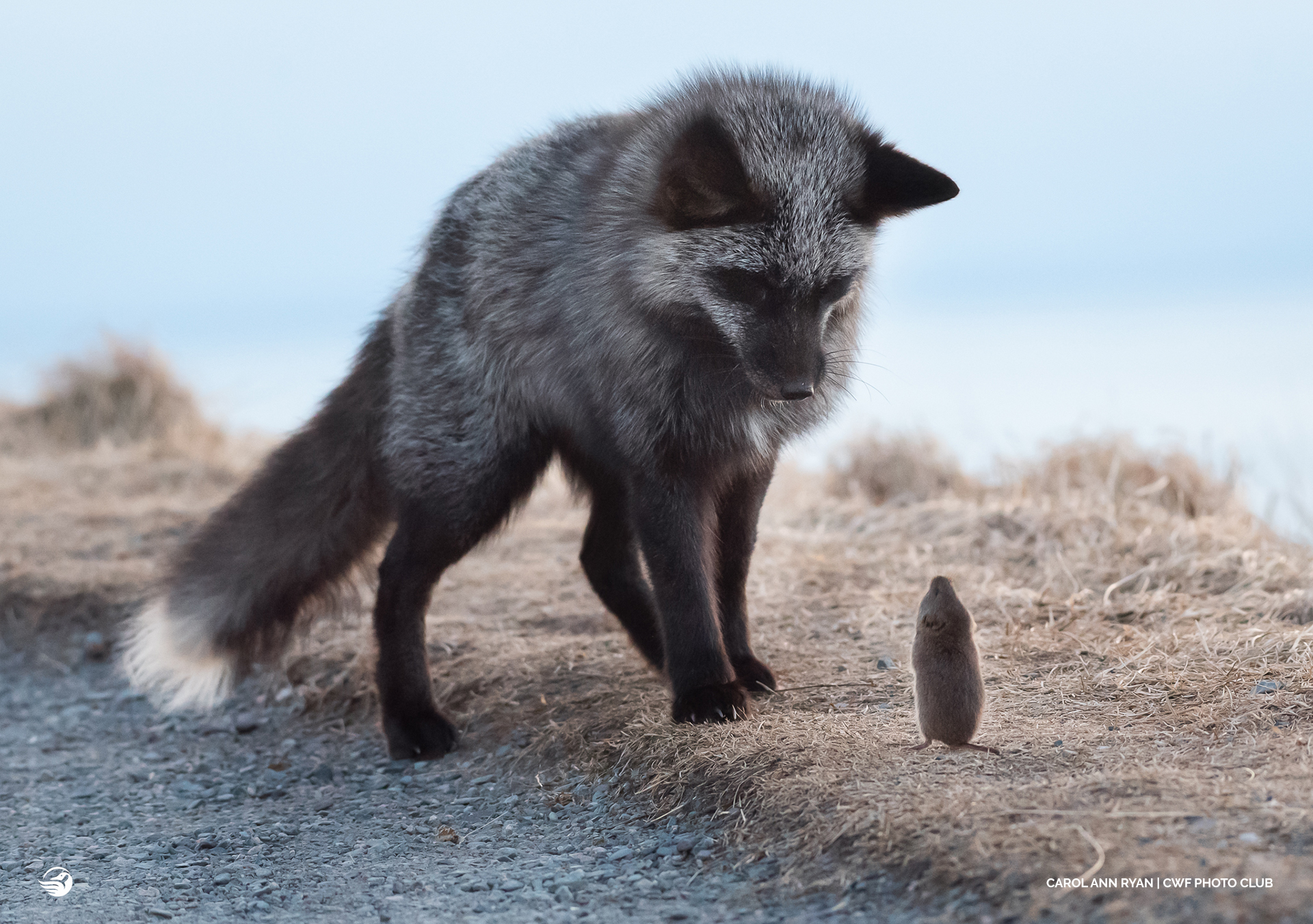fox with mouse