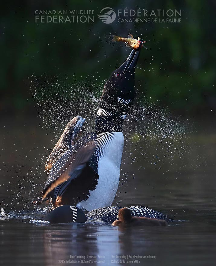 Loon in water catching dinner