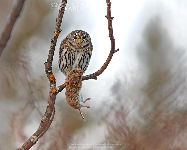 Owl with its prey