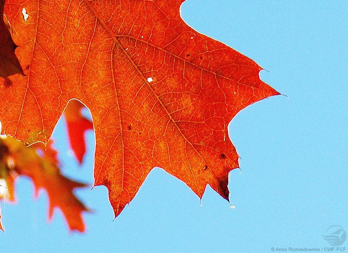 Red maple leaf close up