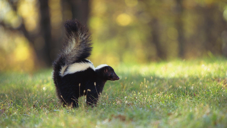 skunk summer