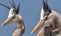 great blue heron pair 206