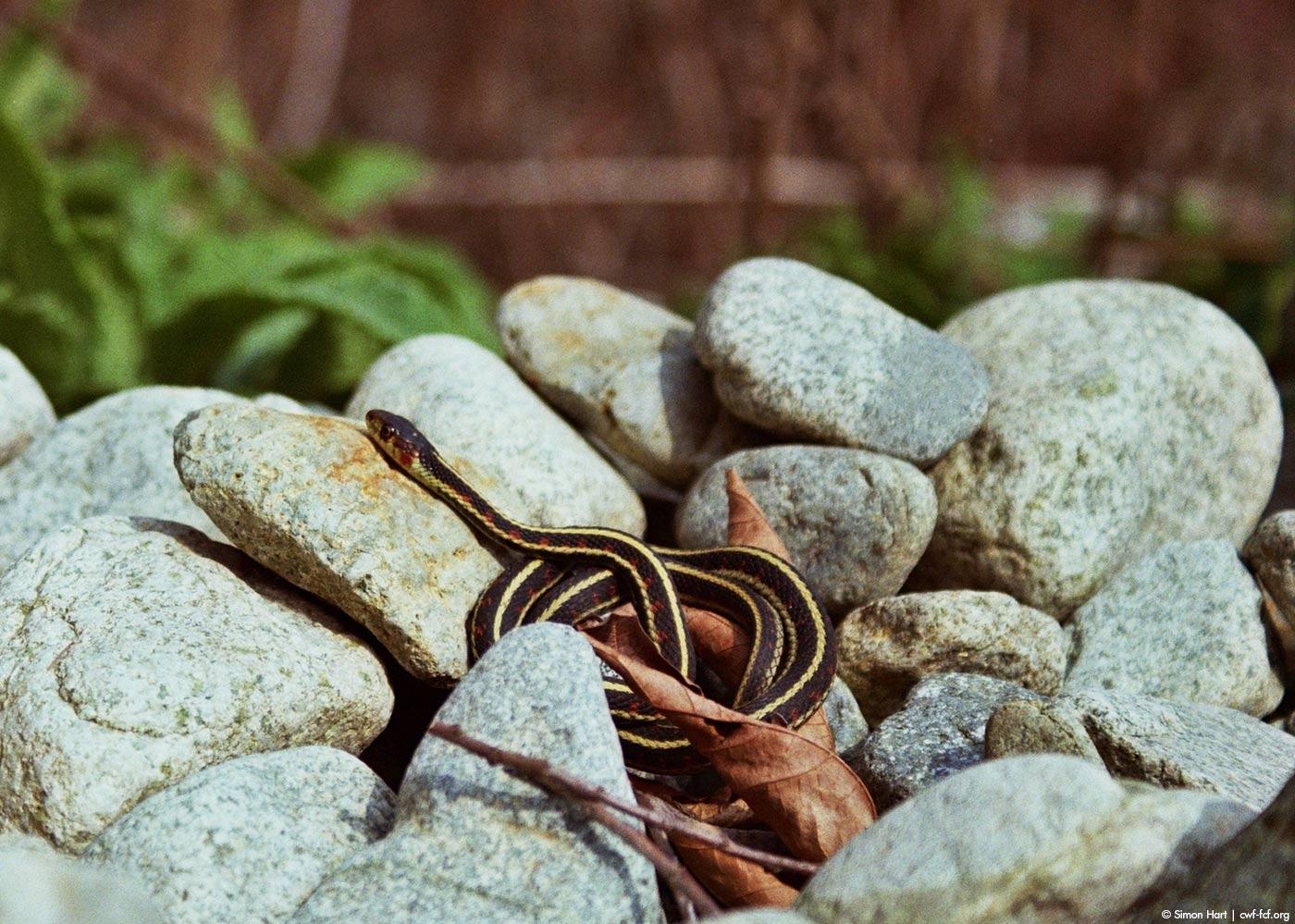 garter snake sunning rock