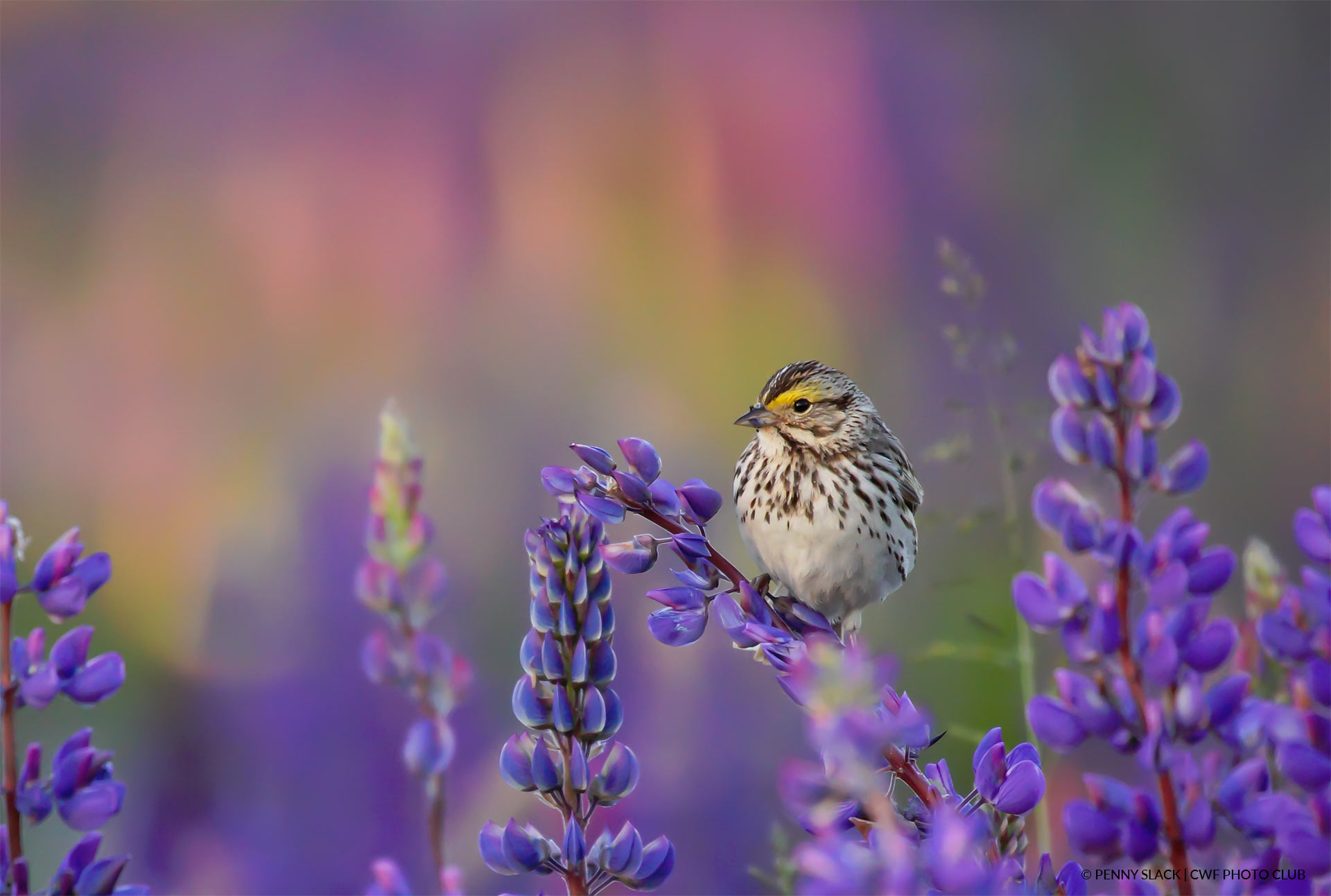 Sparrow on lupines