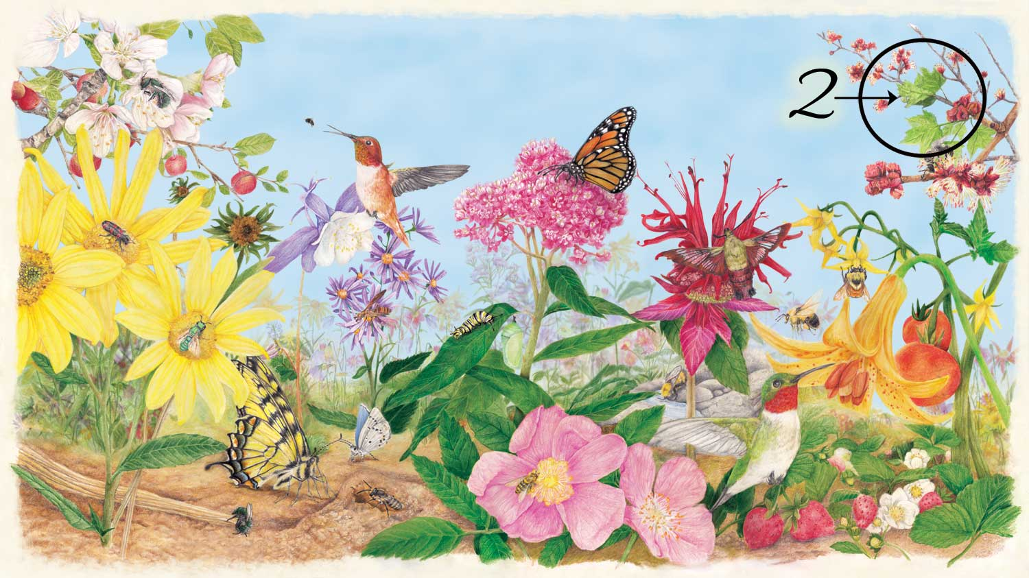 Pollinator poster with maple leaf circled