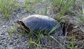 Nesting Blanding's turtle