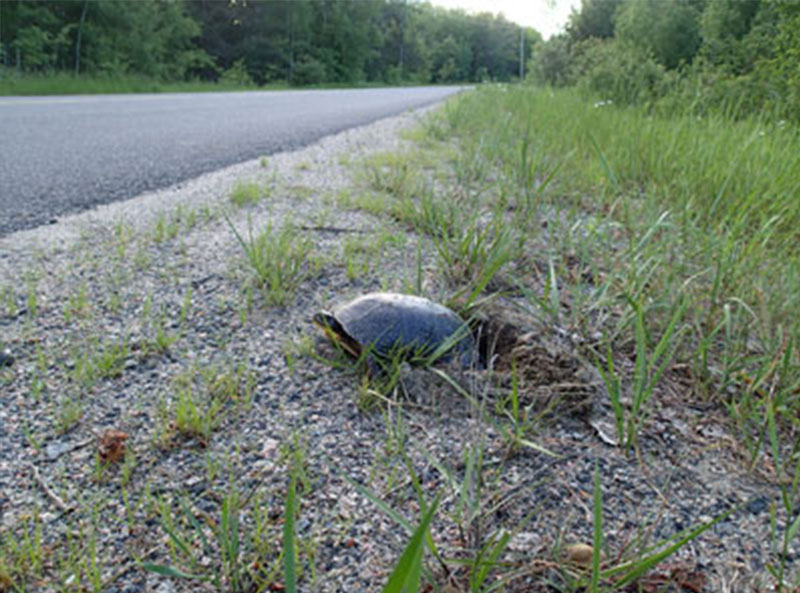 Blandings Turtle nesting on shoulder of road