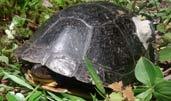 grint blandings turtle
