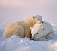 Mom and cub polar bear