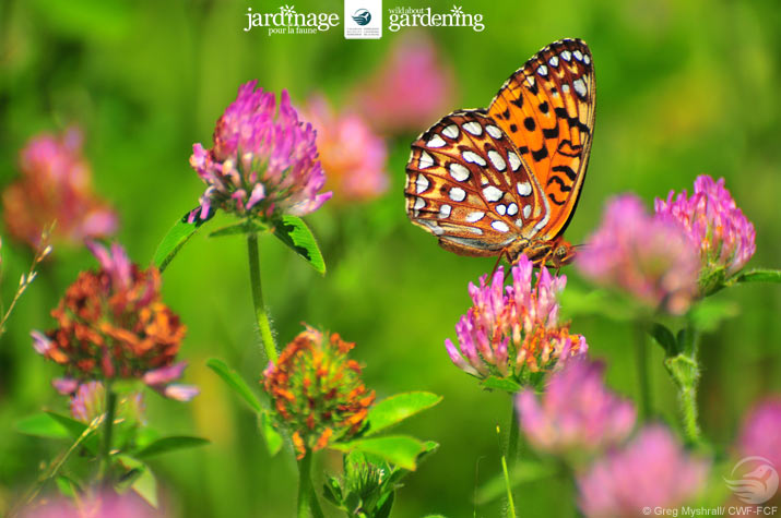 Fritilary Butterfly on clover