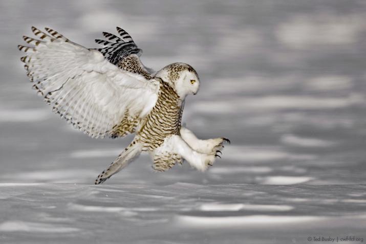 Canadian Wildlife Federation The Snowy Owl