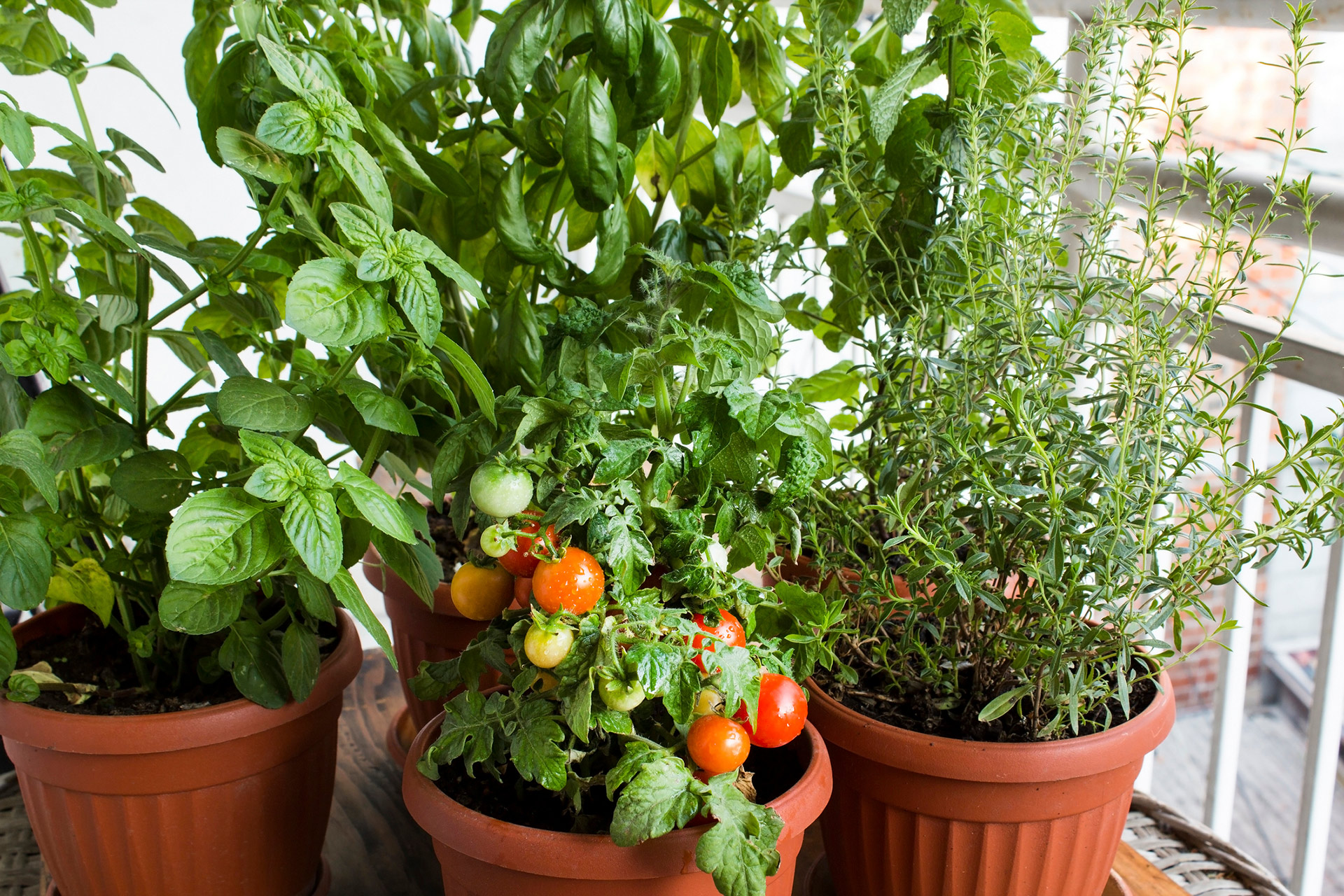 tomato herb potted pot garden