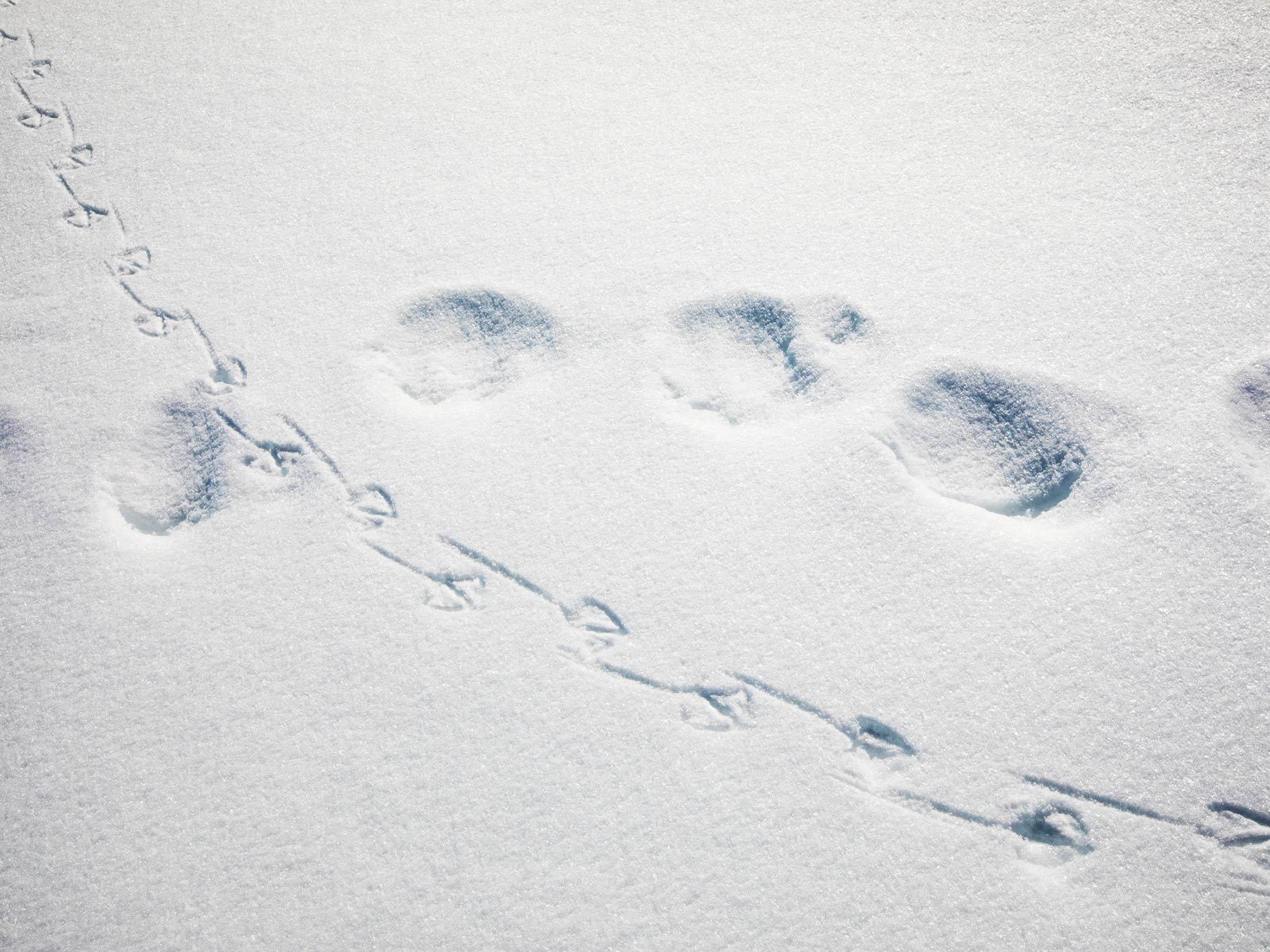 wildlife tracks snow polar bear bird