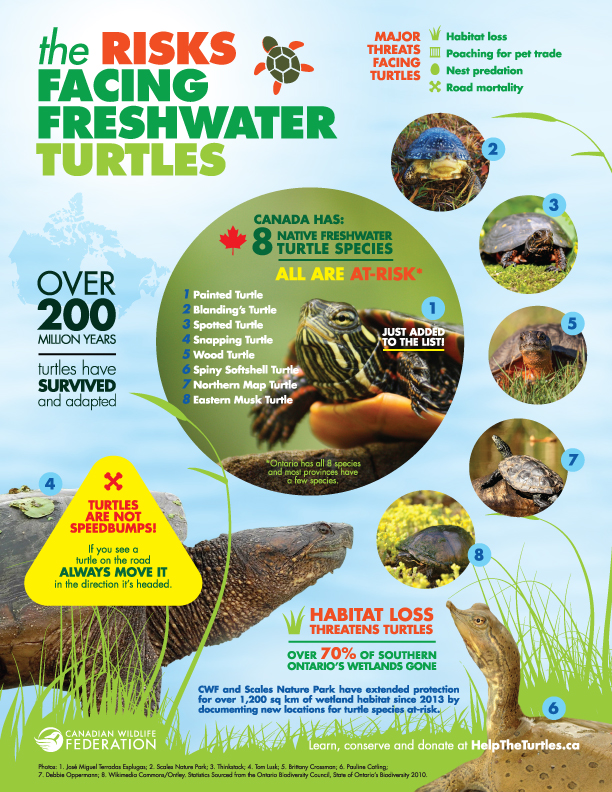 Canadian Wildlife Federation: Help the Turtles