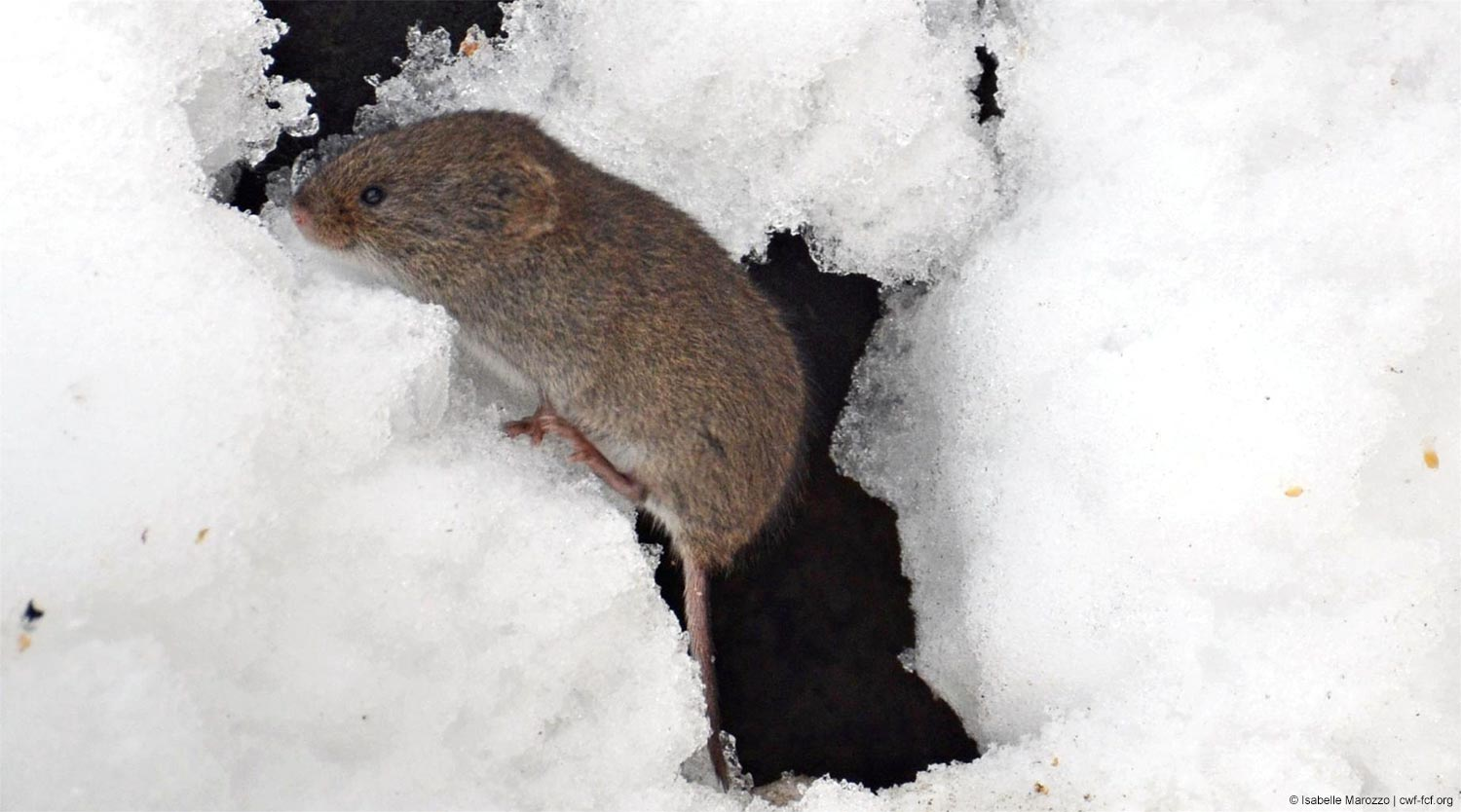 Vole in the snow