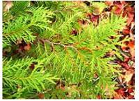 conifers (cedar) - 200px