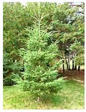 conifers (spruce)