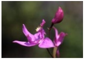 for the love of peat (native orchids)