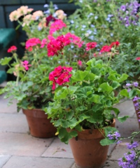 Containers are useful for balconies, patios or set out amongst garden beds