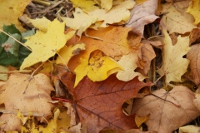 Leaves are one of many natural materials that can be used as mulch