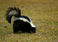 skunks may dig small holes but are a help in the long run
