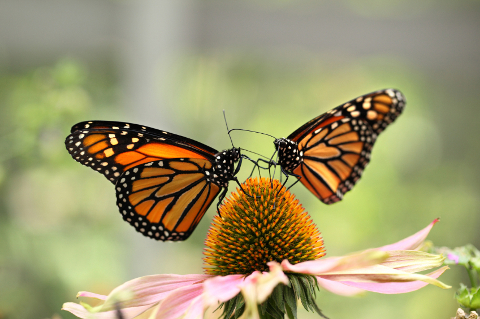 monarch butterflies on echinacea