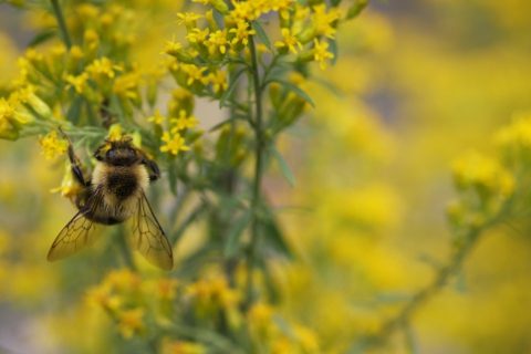 bee pollinating goldenrod