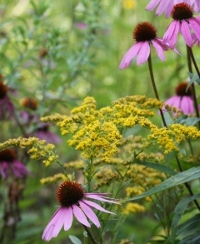 Echinacea and goldenrod