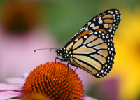 Monarch butterfly on an achinacea flower