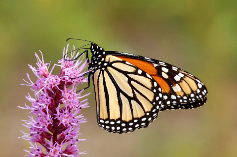 monarch and liatris - 480px