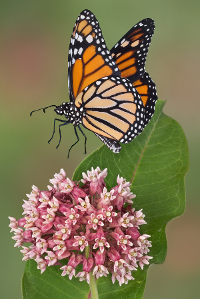 monarch's need milkweed to survive
