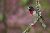 rose-breasted grosbeak - 200px