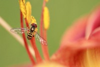 hoverfly - 200px