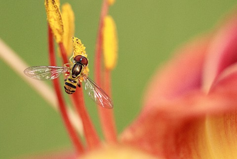 hoverfly - 480px
