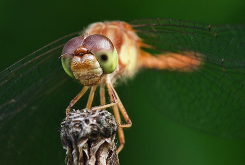 dragonfly - 480px