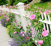 Garden growing around white picket fence