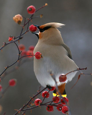 Bird eating a berry off a bush