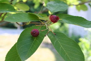 serviceberries are a great food source for birds and other animals