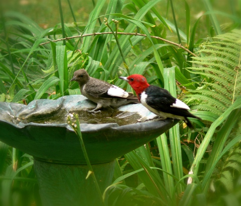 red-headed woodpeckers enjoying a drink at a birdbath