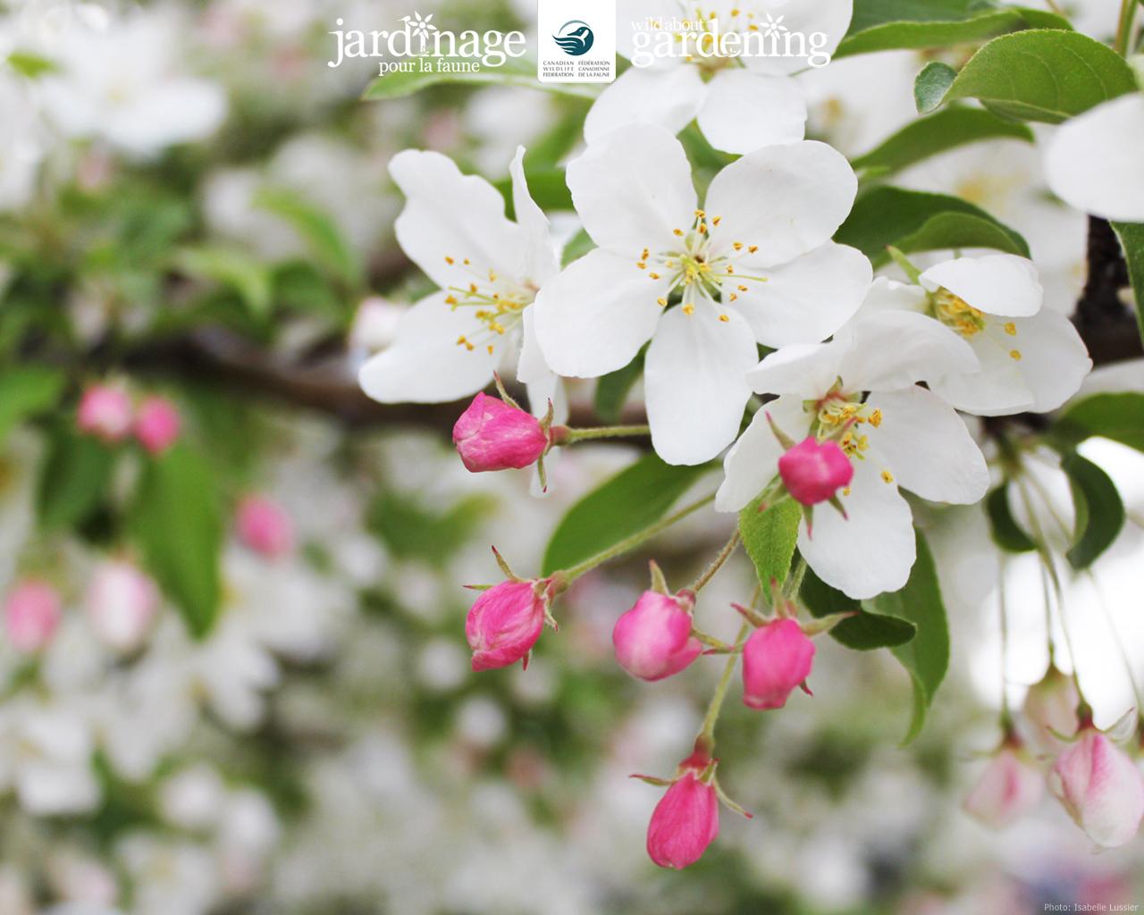 apple-blossoms-1280-1024.jpg