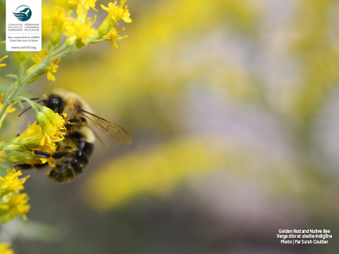 Goldenrod and native bee