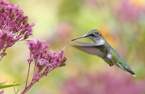 Hummingbird around swamp milkweed
