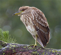 night heron 200