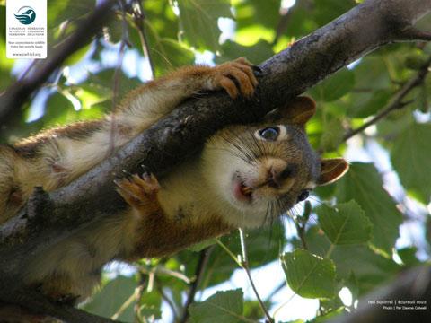 Squirrel | Ecureuil roux