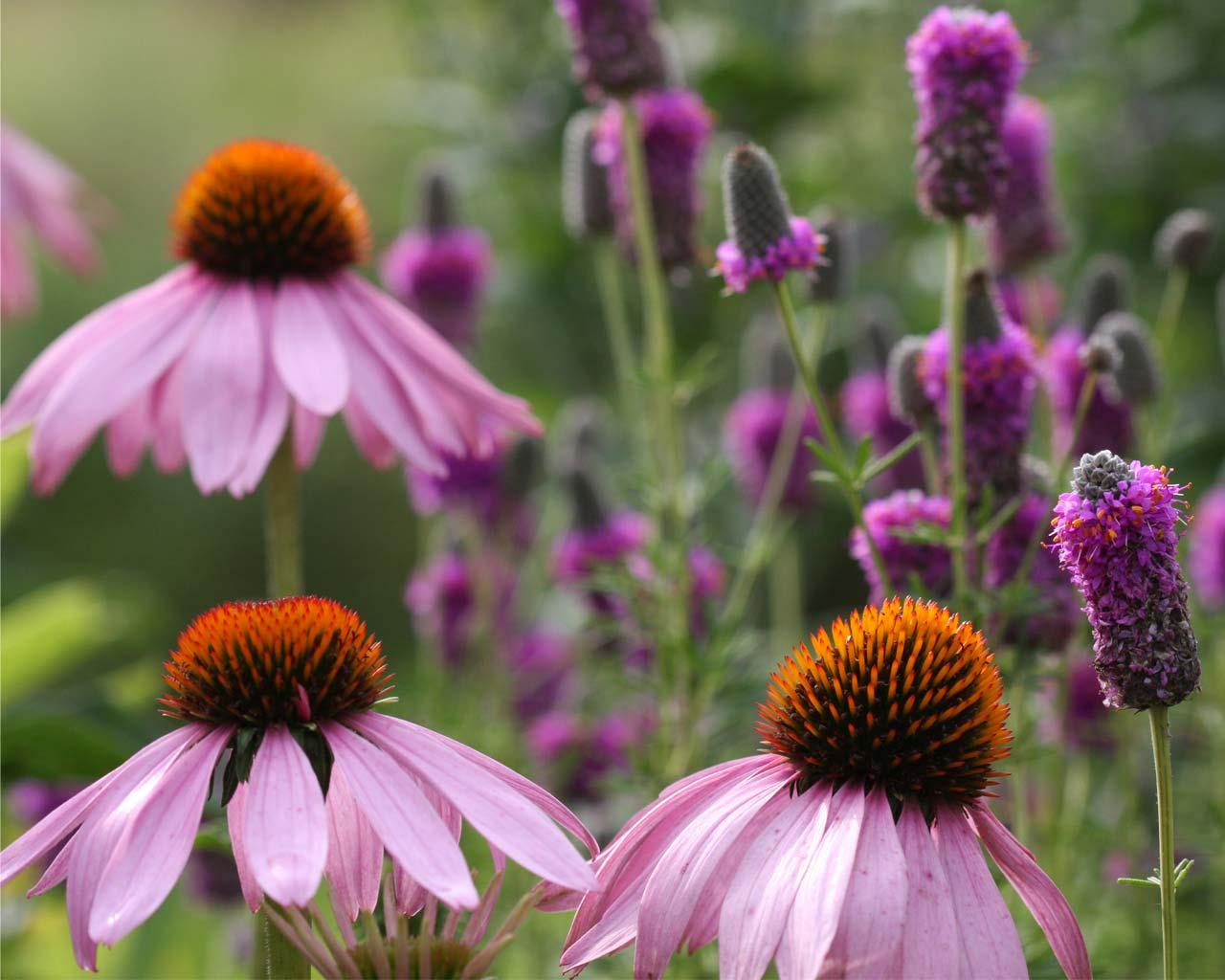 Wildflowers / Fleurs sauvages