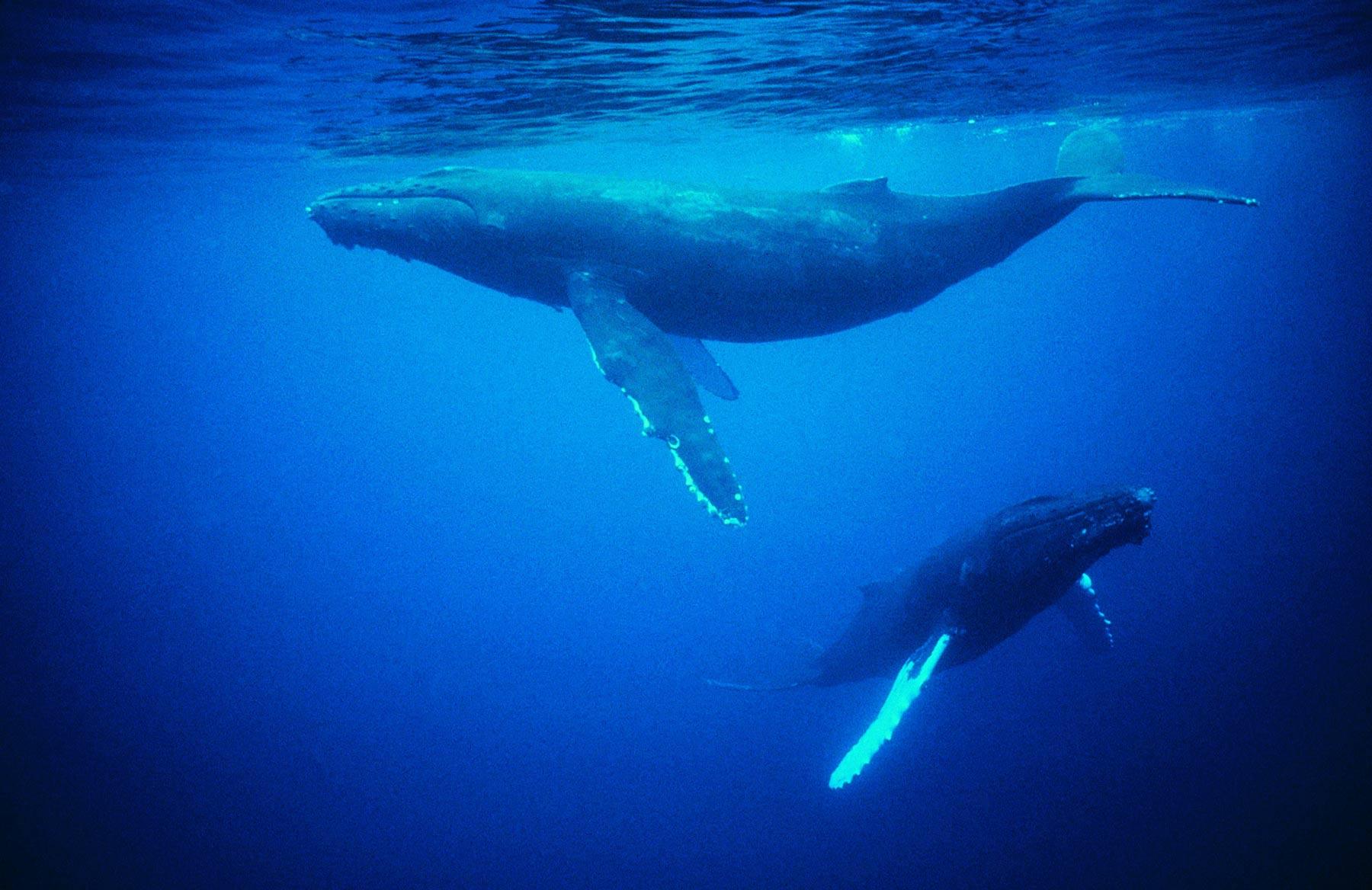 Whales under water